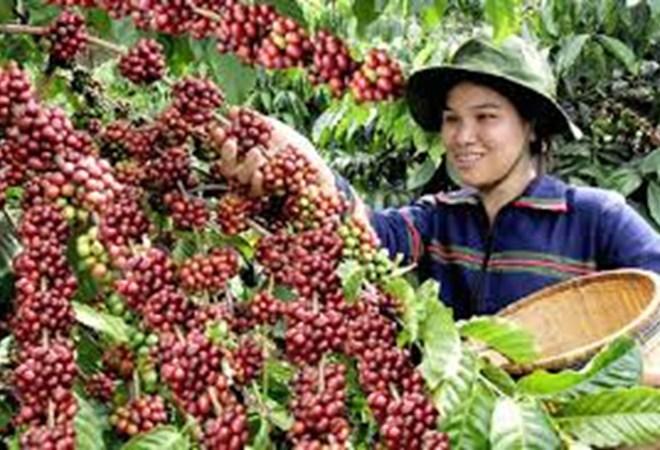 Giá trị của cây cà phê với người Tây Nguyên