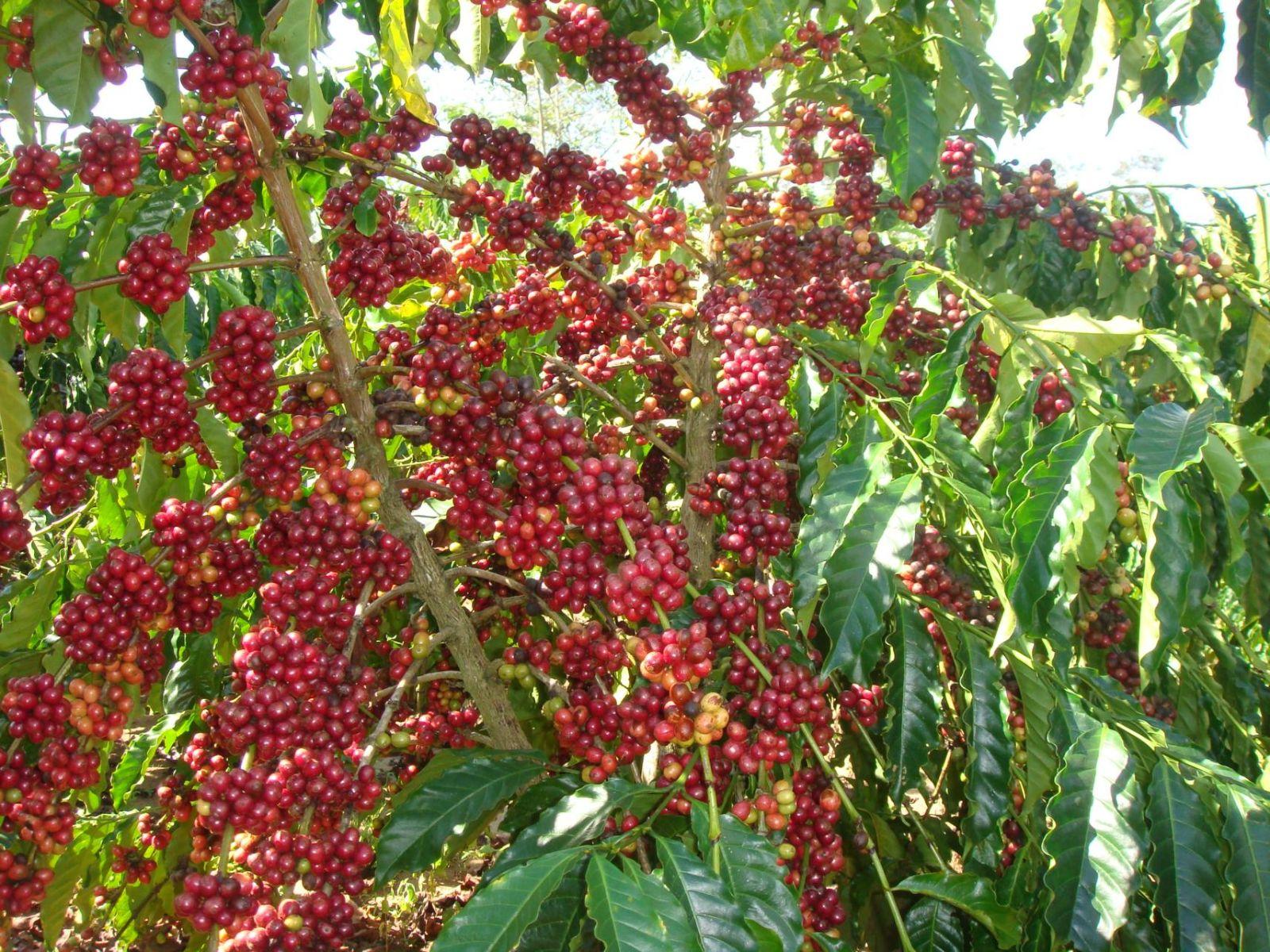 Lịch sử hình thành của cây cà phê ở Việt Nam nói chung và Tây Nguyên nói riêng